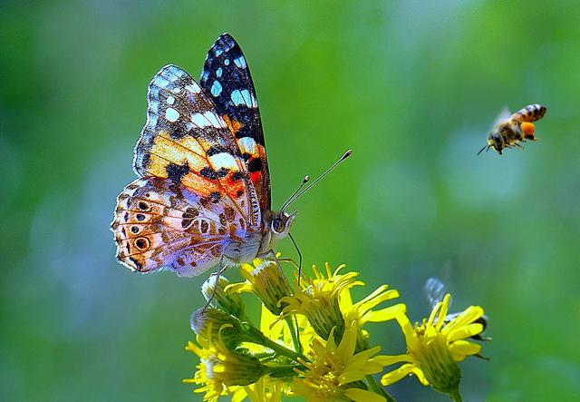 ape farfalla