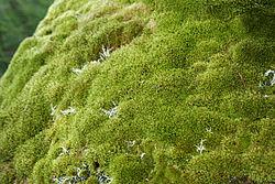 piante muschio