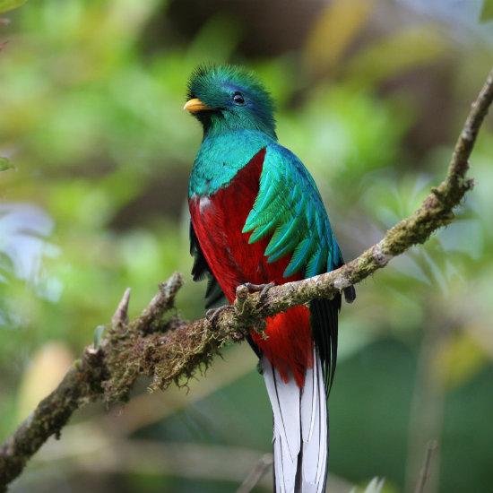quetzal 550x550