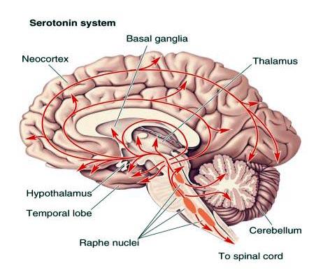 serotonina-472×400